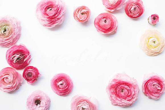 Styled Stock Photo Pink Ranunculus