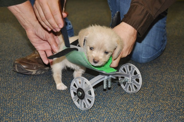 puppy in wheelchair