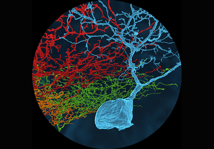 3-D models of neurons