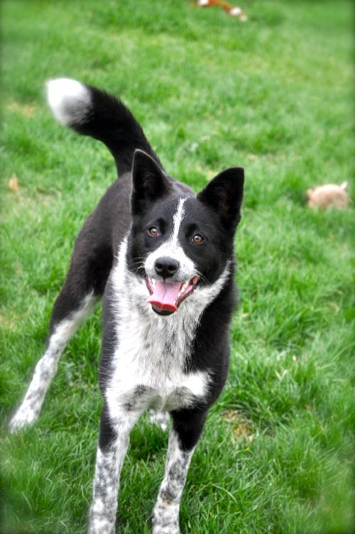 Blue heeler border collie mix