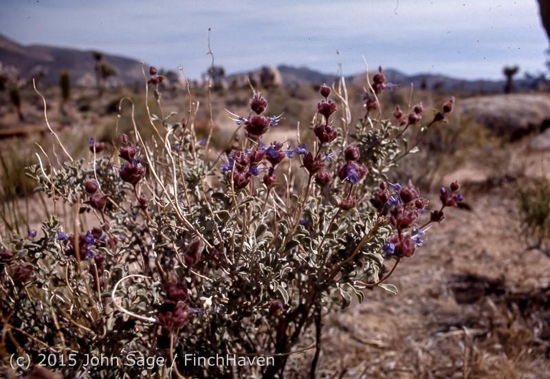 Joshua Tree National Monument CA Apr 1971-28