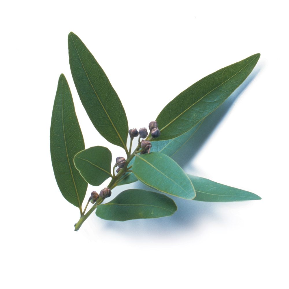 Bay leaves finecooking - Cook bay leaves ...