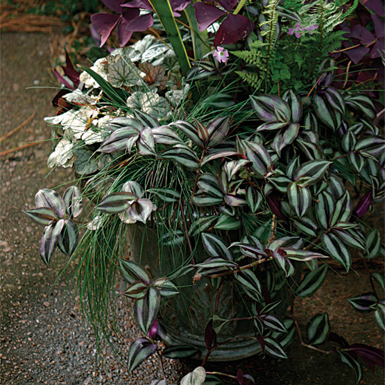 Wandering jew finegardening - Wandering jew care ...