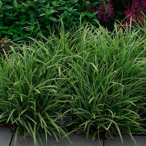 Carex Finegardening