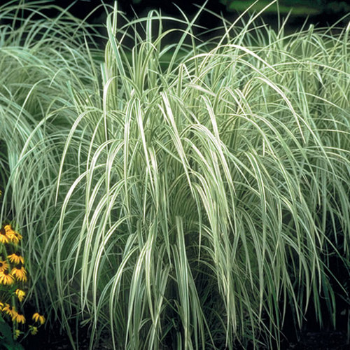 Variegated purple fountain grass finegardening for Tall oriental grass
