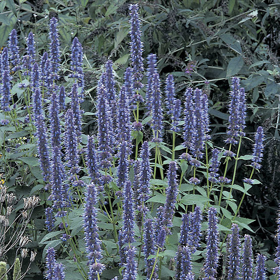 blue fortune hyssop finegardening. Black Bedroom Furniture Sets. Home Design Ideas