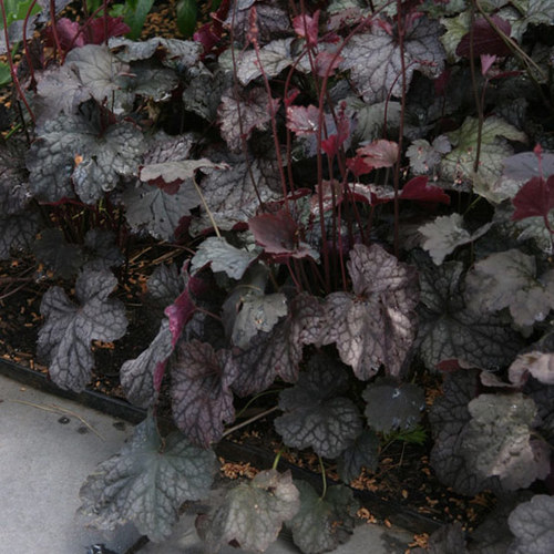 Plum Pudding Coral Bells Finegardening