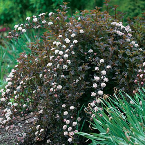 Physocarpus Finegardening