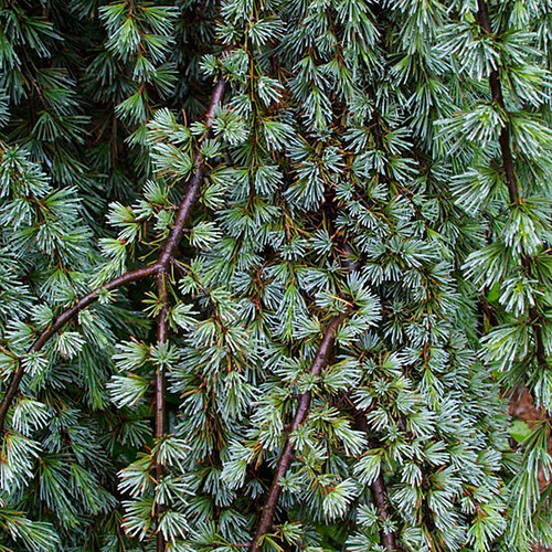 Dwarf Cedar Tree Varieties ~ Blue atlas cedar finegardening