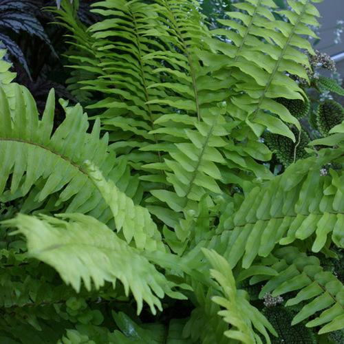Christmas fern finegardening - Nephrolepis exaltata ...