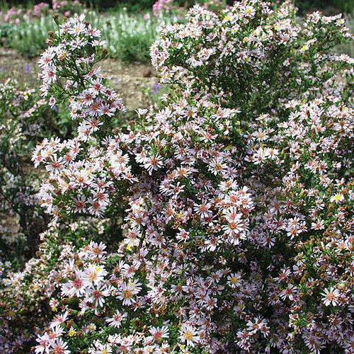 aster lateriflorus �lady in black� finegardening