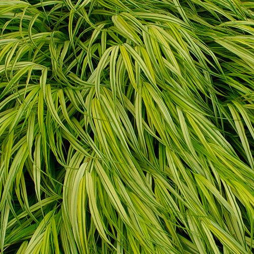 Golden japanese forest grass finegardening for Japanese grass