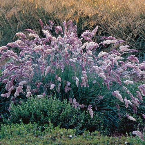 9 new and unusual grasses finegardening for Low growing perennial ornamental grass
