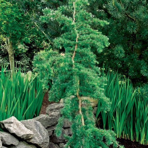 Trees for tight spaces finegardening for Trees for tight spaces