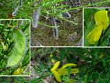 Sarothamnus scoparius (L.) Wimm. ex Koch subsp. scoparius