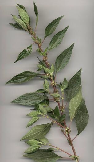 Parietaria Officinalis L Subsp Judaica L Beg