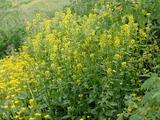 Barbarea vulgaris R. Br. in Aiton