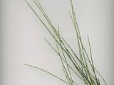 Equisetum ramosissimum Desf. subsp. ramosissimum