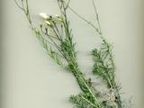 Linum tenuifolium L. subsp. suffruticosum (L.) Litard.