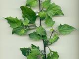 Solanum nigrum L. subsp. nigrum