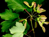 Acer opalus Mill. subsp. opalus