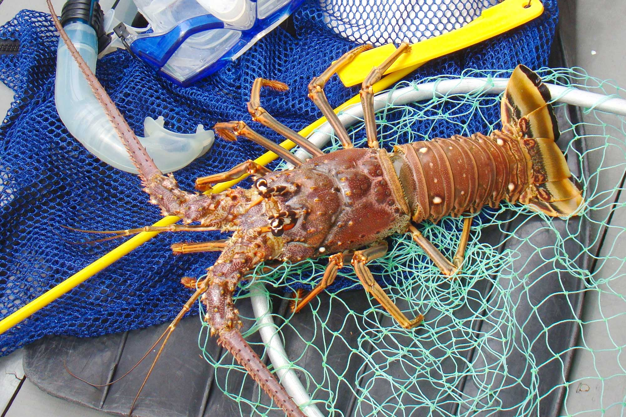 How to catch a lobster in florida for Florida out of state saltwater fishing license