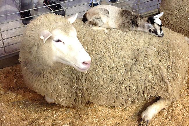 Ewe with baby