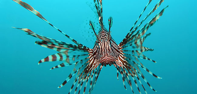 The lionfish threatening native fish and florida 39 s for Fish native to florida
