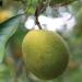 Breeding a solution to citrus greening