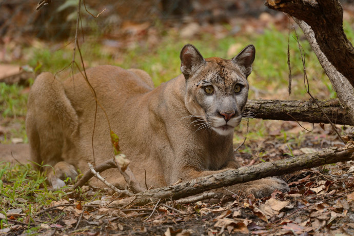 Commentary: Vern Buchanan issues statement to Feds, 'Protect the Florida Panther'