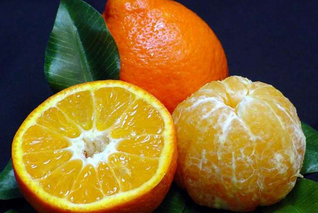 UF-developed mandarin shows increased tolerance to greening