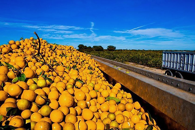 USDA lowers estimate for Florida citrus