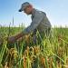 Rice paddy fields of Florida