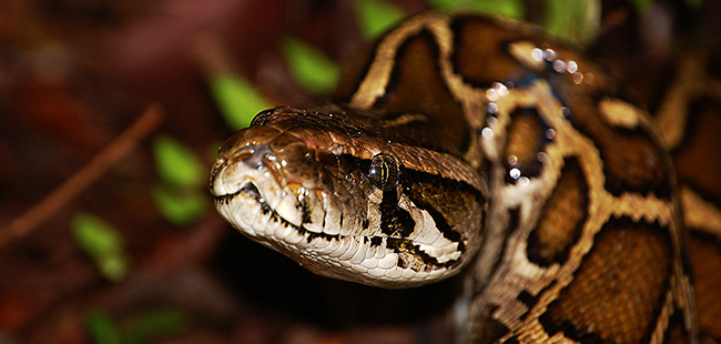 Burmese python's hungry escapades may have consequences for human health