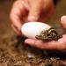 Big business in alligator egg poaching