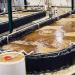 Under water: Shrimp farmer faces a big problem