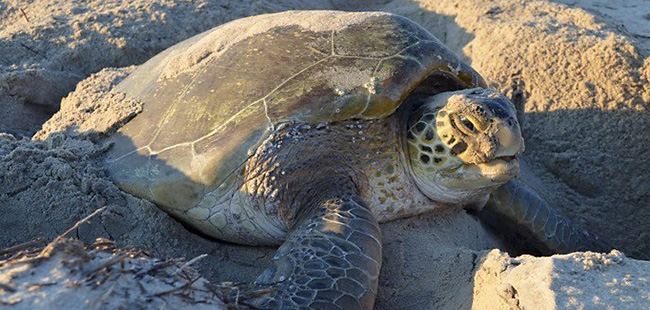Green sea turtle nest numbers hit record in 2017