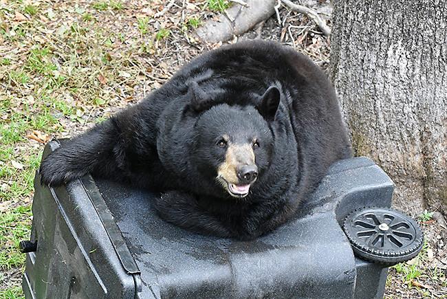 Florida bears and trash