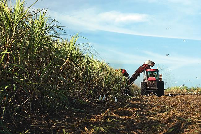 Florida Crystals' sugar field