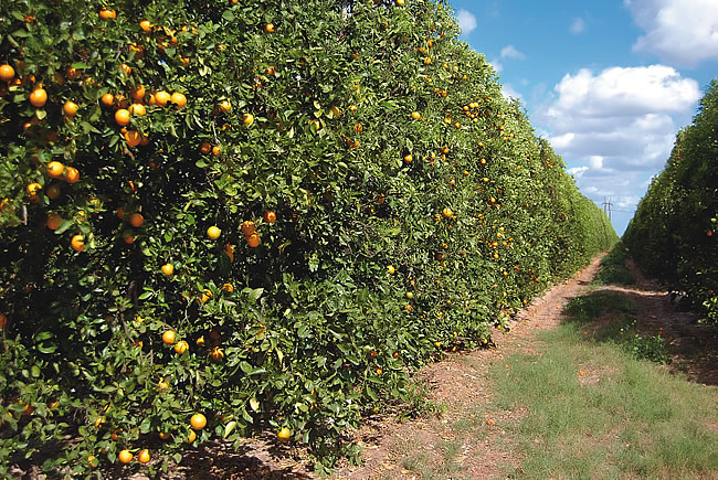 Citrus Trees