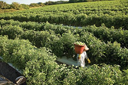Tomato Farm in Palmetto
