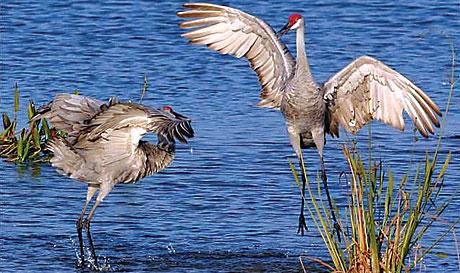 Cranes in Lake Apopka