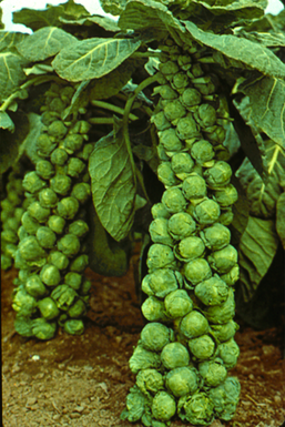 Brussels_sprouts1