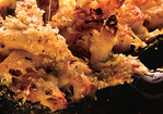 Cheesy Baked Penne with Cauliflower and Crème Fraîche Recipe