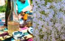 Elderflower Syrup & Cordial Recipe