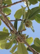 60316_does_anyone_know_what_fruit_this_is_at_a_hotel_in_south_beach_miami_and_no_one_knows._