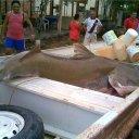 Foto de Piraiba - Este peixe quem pegou foi meu grande amigo Rodrigo  -Castor! e mandou a foto pra mim!!http://www.youtube.com/Alexcamila07