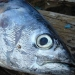 peixe de agua salgada