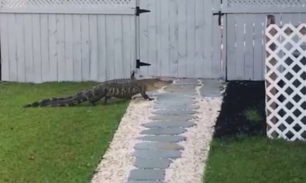 Alligator Caught on Video trying to Ring Doorbell of South Carolina Home