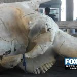 Man tries to cross an endangered elephant's skull into Mexico